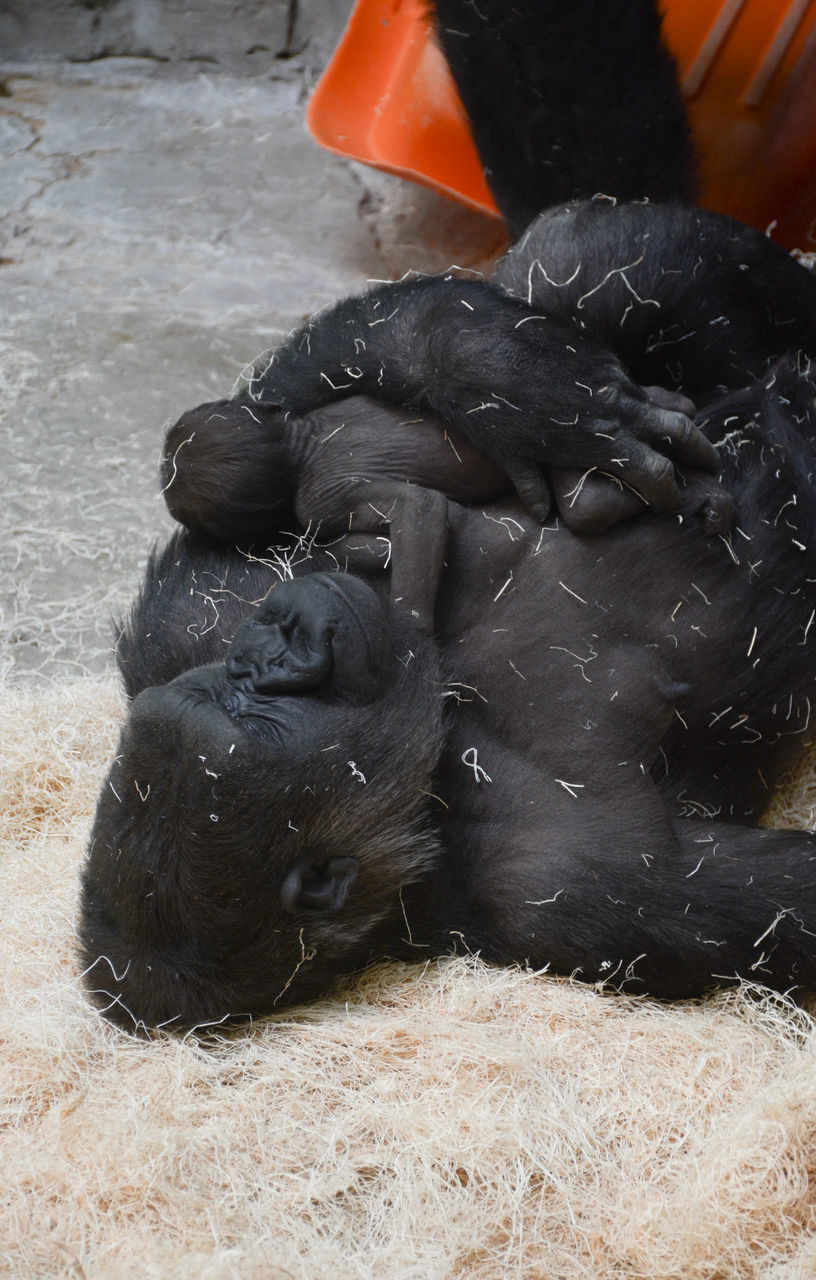 High Angle View Of Gorilla Sleeping With Infant At Zoo