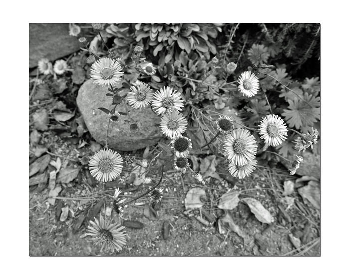 Monochrome Flowers 12 The Gardens At Lake Merritt Lakeside Park Oakland, Ca. Flowers Flowers_collection Daisies Ground Cover Garden Photography Flower Head Blooming Landscaping Monochrome_Photography Monochrome Black & White Black & White Photography Black And White Black And White Collection  Nature Beauty In Nature Nature_collection Bnw_captures Bnw_flowers Botany Plant Fragility Close-up