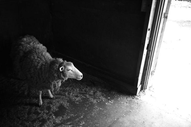 ELMARIT-M 28mm F2.8 Animal Animal Head  Animal Themes Animal Wildlife Blackandwhite Day Domestic Domestic Animals Indoors  Leica Looking M9-p Mammal Monochrome No People One Animal Sheep Sheeps Sheep🐑 Young Animal