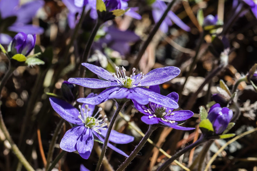 Hepatica nobilis, liverleaf, is a small herbaceous perennial in the buttercup family. It is native to the eastern United States and to central and eastern Canada. It grows to 10 cm (4 in) tall and broad. It blooms in early spring, with white, pink, or blue flowers strongly resembling anemones. https://en.wikipedia.org/wiki/Hepatica_nobilis Hepatica Nobilis Beauty In Nature Close-up Flower Flower Head Macro Petal Purple