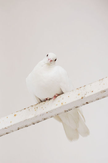 Portrait of white dove perching on metal against clear sky