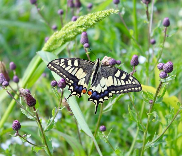 A rare dovetail — ein seltener Schwalbenschwanz Selten Rare Dovetail Schwalbenschwanz Animal Wildlife Insect Animal Themes Animals In The Wild Invertebrate Animal Plant Butterfly - Insect Flower Animal Wing Beauty In Nature One Animal Nature