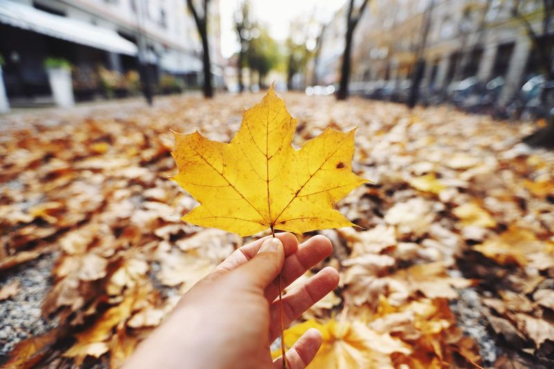 Close-Up Of Person Holding Maple Leaf On Road