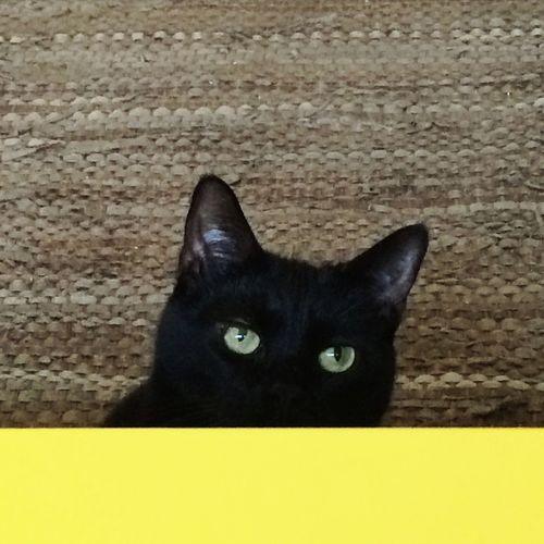 Domestic Cat Pets Animal Themes One Animal Cat Portrait Black Cat