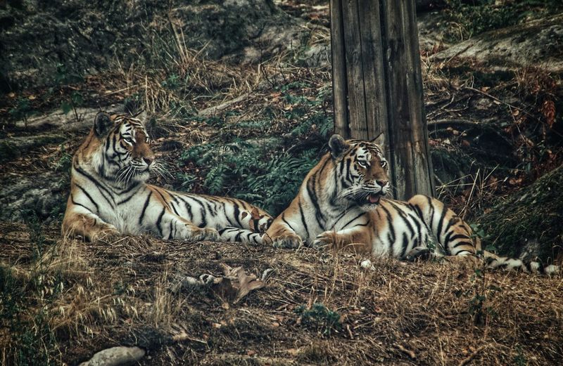Tigers relaxing in a forest
