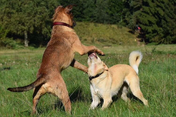 Playing dogs.
