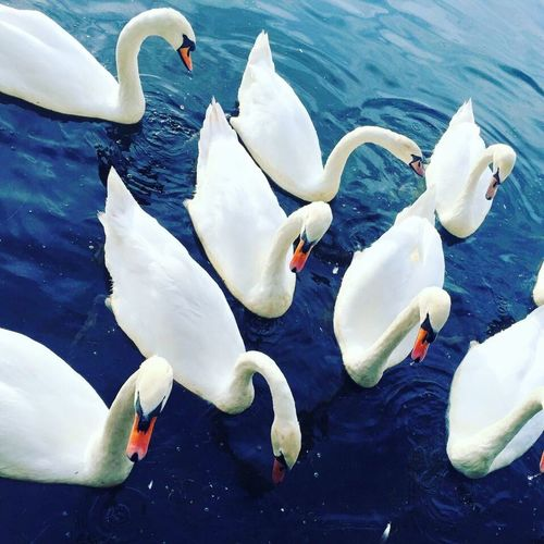 Swans Cardiff Roathpark Roath Colours Photo Photography Summer Nature Outdoors Water Lake The Great Outdoors - 2016 EyeEm Awards