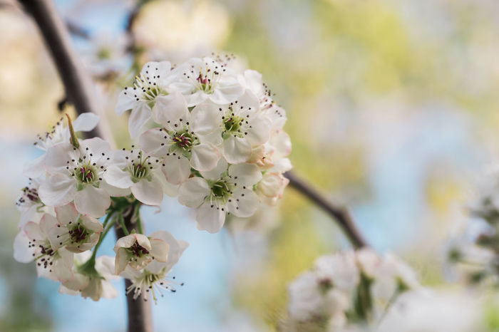 Pear Blossoms in spring. Pear Blossoms Pear Blossom Apple Blossom Apple Tree Beauty In Nature Blossom Botany Branch Close-up Flower Flower Head Fragility Growth Nature No People Orchard Outdoors Petal Selective Focus Springtime Tree White Color