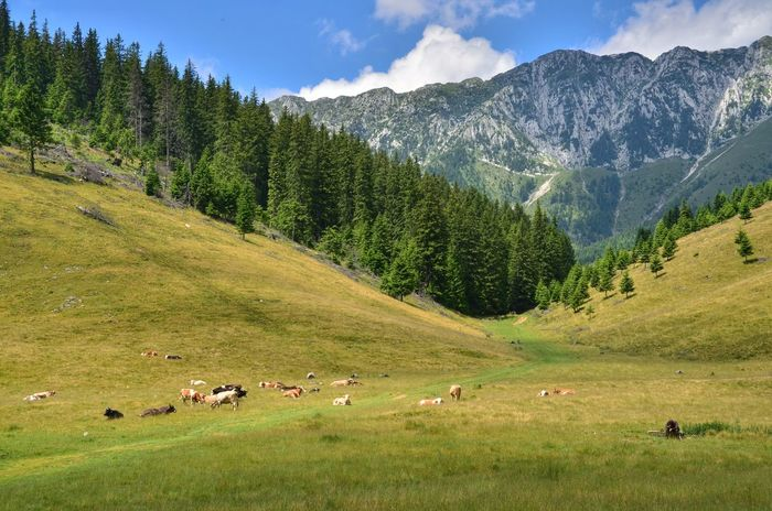 Adult Beauty In Nature Carpathian Carpathian Mountains Carpathian Nature Carpathians Day Green Color Herd Of Cows Landscape Large Group Of People Lush - Description Magura Mountain Nature Only Men Outdoors People Romania Sky Tree