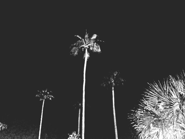 Black And White Palm Trees Disney Hollywood Studios