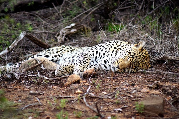 Sleeping leopard totale Beauty Lying Down Endangered Species Paw The Great Outdoors - 2018 EyeEm Awards Predator Graceful EyeEm Selects Wildlife South Africa National Park Kruger Park Animals In The Wild Animal Wildlife Nature No People Sleeping Sleeping Beauty Outdoor Photography Outdoors Leopard Print Leopard Animal Themes Safari Animals One Animal Big Cat