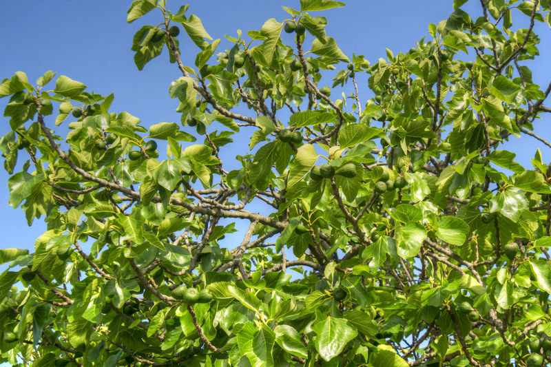 Plant Growth Leaf Tree Plant Part Sky Low Angle View Green Color Day No People Nature Branch Food And Drink Food Beauty In Nature Clear Sky Fruit Outdoors Healthy Eating Sunlight