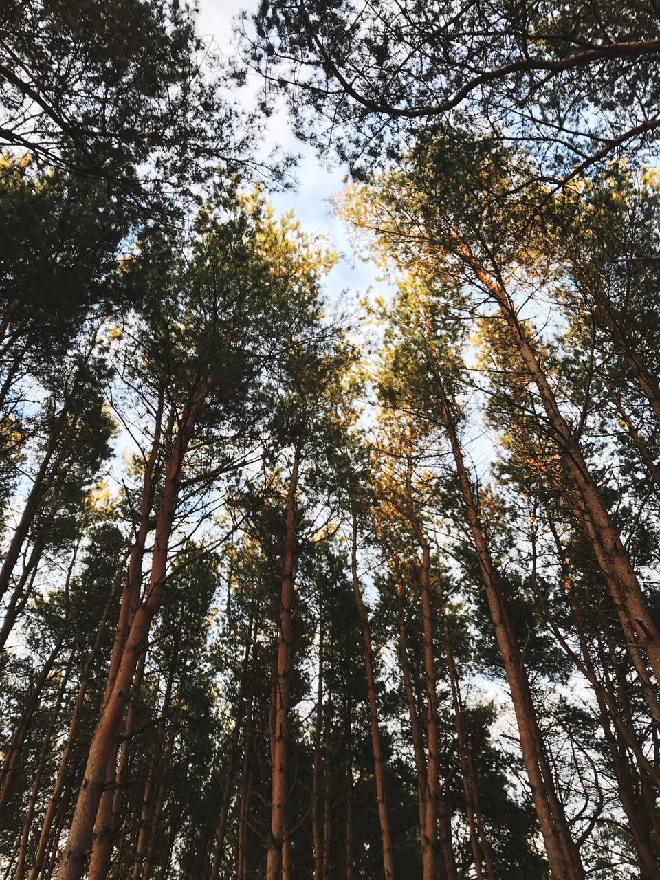 tree, tree trunk, low angle view, nature, forest, growth, beauty in nature, tall - high, tranquility, day, outdoors, scenics, no people, tranquil scene, woodland, branch, sky, bamboo grove, tall, bamboo - plant