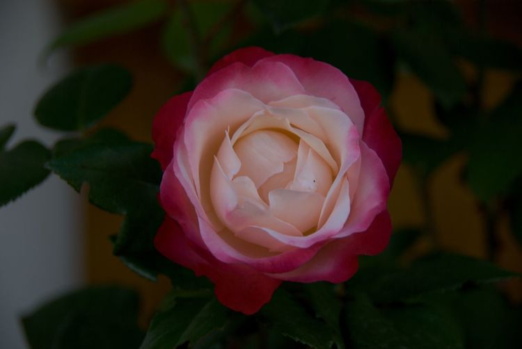 Rose im Schatten Garden Photography Nature Rose🌹 Flower Head Flower Peony  Pink Color Petal Rose - Flower Close-up Plant In Bloom Botany