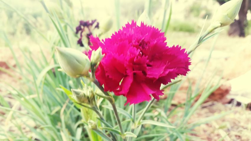 Dark Pink Dark Pink Flower Pink Flower 🌸 Nature Nature_collection Nature Photography Naturelovers ❤❤ Nature Collection Outdoors Outdoor Photography 🌷 Flowers 🌹 🌷flowers