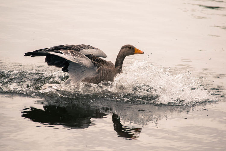 Animals Beauty In Nature Bird Goose Lake Nature No People Outdoors Reflection Splash Water
