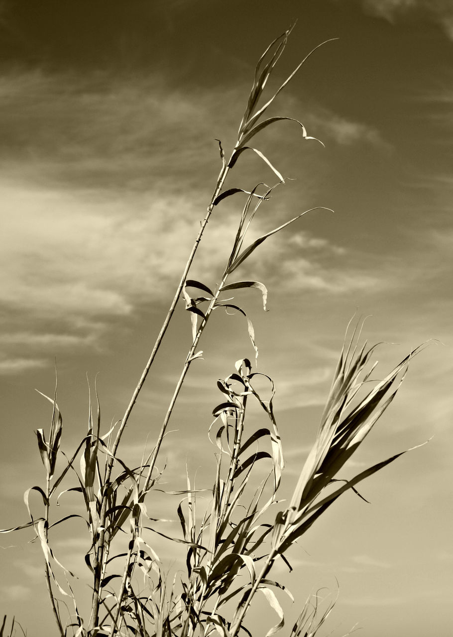 growth, nature, stem, plant, cereal plant, outdoors, beauty in nature, sky, day, no people, agriculture, rural scene, low angle view, fragility, flower, ear of wheat, wheat, close-up, freshness