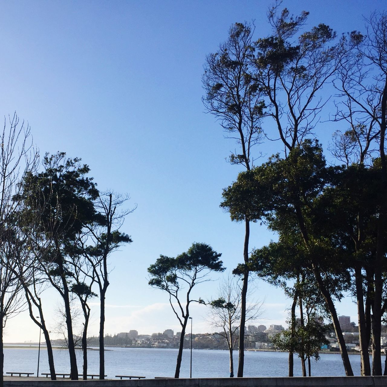 SILHOUETTE TREES GROWING BY CALM LAKE AGAINST CLEAR BLUE SKY