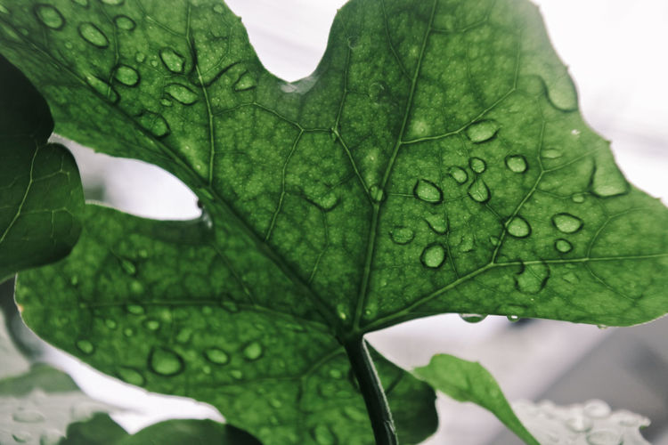 Water Leaf Drop