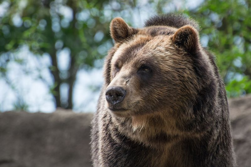 """""""Grizzly Bear at Cleveland Zoo."""" One Animal Mammal Outdoors Nature Close-up Nature Power In Nature Grizzly Grizzly Bear Bear Strong Powerful Predator Beautiful Animals  Cleveland Metroparks Cleveland Zoo Ohio Portrait Animal Portrait"""