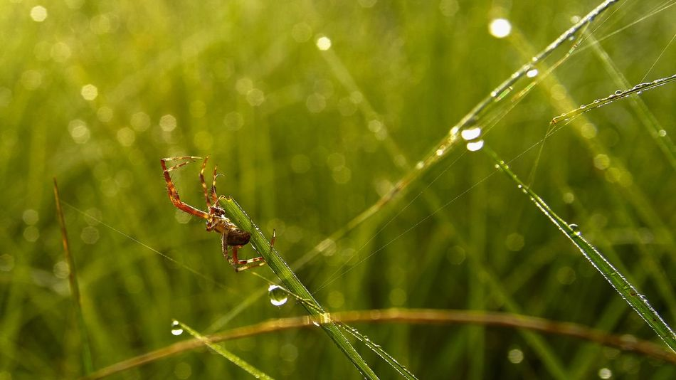 On Guard Beauty In Nature Blade Of Grass Dew Drop Focus On Foreground Fragility Grass Green Color Nature No People Outdoors Selective Focus Spider Web Web