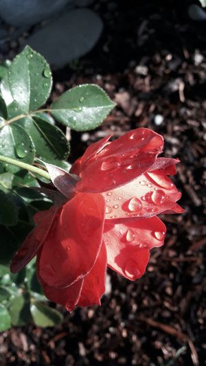 Beauty In Nature Plant Close-up Outdoors Red Flower Roses, Flowers, Nature, Garden, Bouquet, Love, Rose Flower
