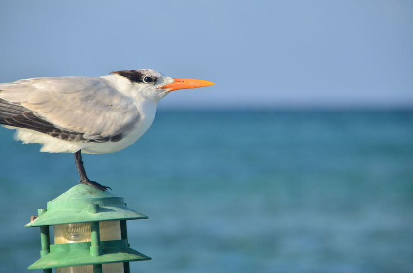 Animal Animal Themes Animal Wildlife Avian Beauty In Nature Bird Bird Of Prey Blue Close-up Day Feather  Focus On Foreground Nature No People Outdoors Perched Perching Sea Bird Seagull Sky Spread Wings Wildlife