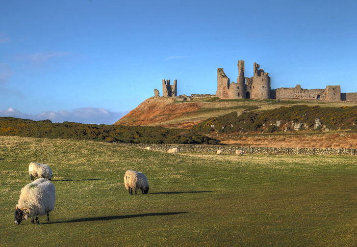 Sheep at the castle Dunstanburgh Castle Animal Themes Architecture Beauty In Nature Building Exterior Built Structure Castle Ruin Clear Sky Craster Day Domestic Animals Field Grass History Livestock Mammal Meadow Nature One Animal Outdoors Sheep Sky