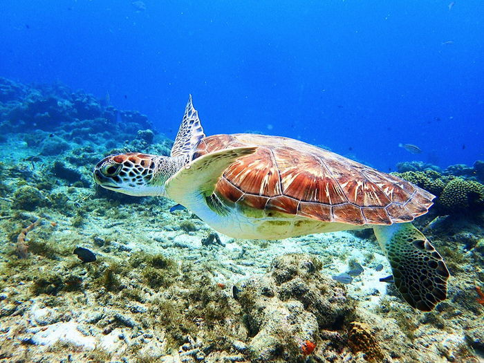 Swimming with Sea Turtles in Curaçao, Dutch Caribbean Animal Animal Themes Animal Wildlife Animals In The Wild Beauty In Nature Marine Nature No People One Animal Reptile Sea Sea Life Sea Turtle Swimming Turquoise Colored Turtle UnderSea Underwater Vertebrate Water