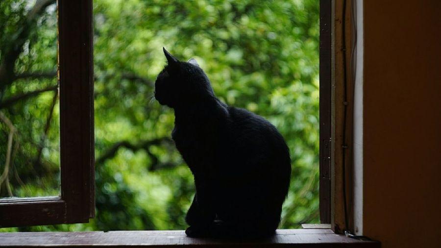 Black cat looking through window