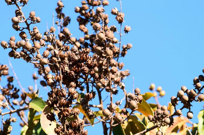 Close-up of crepe myrtle tree against blue sky
