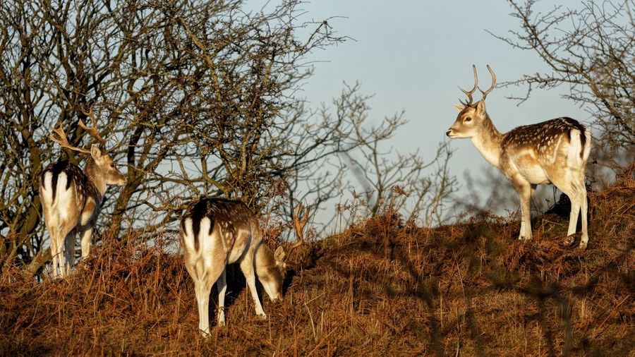 Fallow Stag Buck Deer Dunes Of Holland Animal Themes Animal Tree Plant Mammal Nature Vertebrate Animal Wildlife Animals In The Wild Group Of Animals Day Clear Sky Sunlight Standing