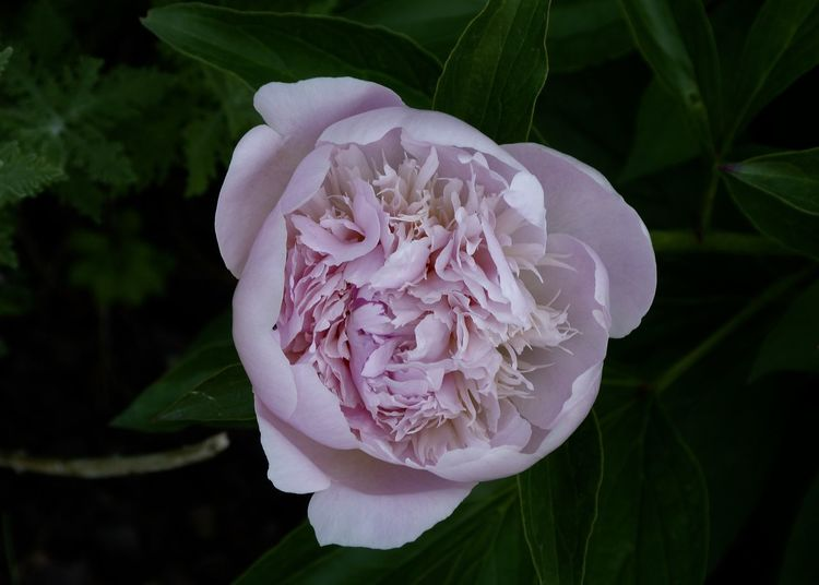 delicate pale pink peony Beautiful From Above  Ornamental Beauty In Nature Close-up Delicate Flower Flower Head Flowering Plant Fragility Freshness Garden Growth Inflorescence Leaf Nature Outdoors Pale Peony  Petal Pfingstrose Pink Color Plant Rosé Rose - Flower