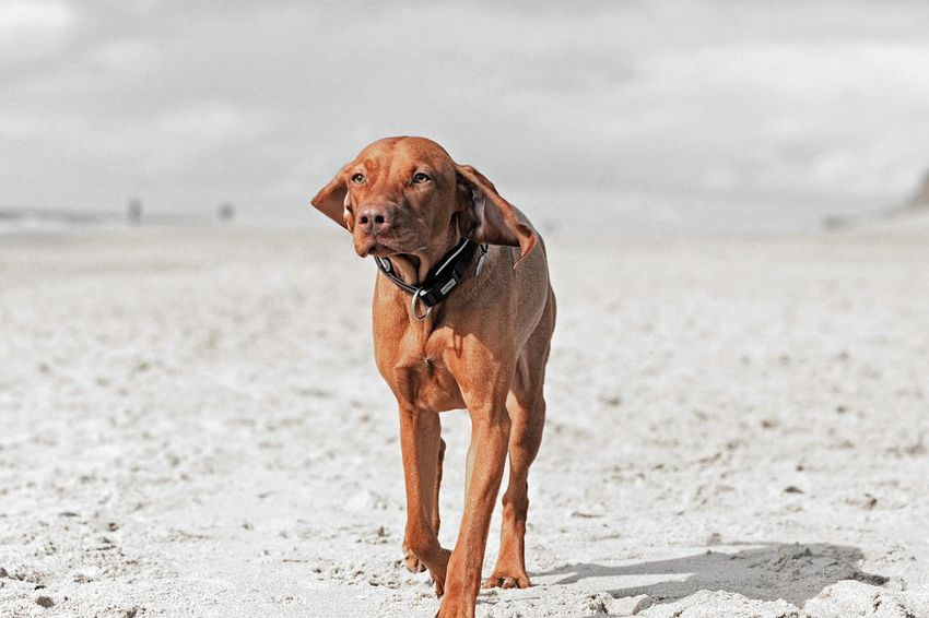 Strand Sylt Hund Vizsla Dog One Animal Canine Dog Pets Mammal Animal Animal Themes Domestic Animals Beach Sand Land Nature Day Focus On Foreground Looking No People