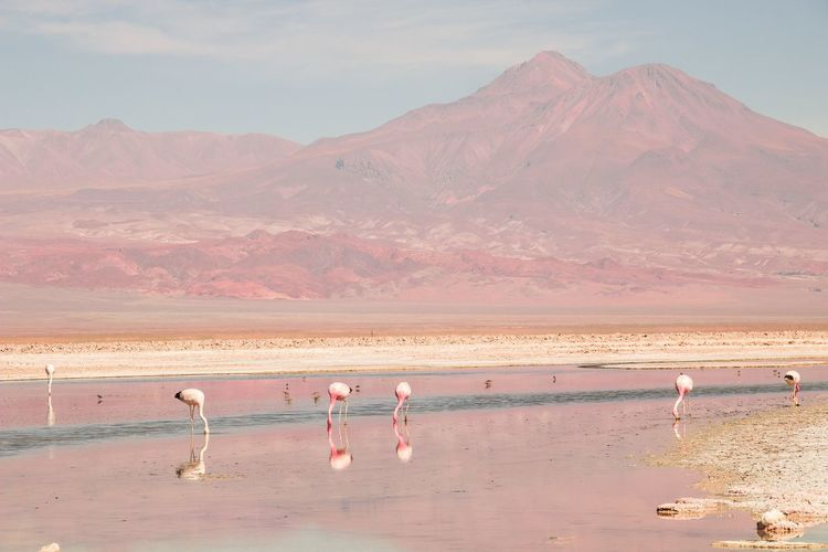 Vulcano Atacama Desert Desert Reflex Red Color EyeEm Selects Land Desert Mountain Water Beauty In Nature Scenics - Nature Landscape Flamingo Sky Nature Day Animal Themes Environment Tranquil Scene Animal Arid Climate Animal Wildlife Mineral Tranquility Climate