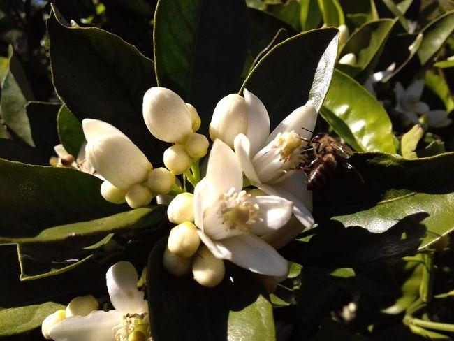 Flordelaranjeira Abelha Polinization Plant