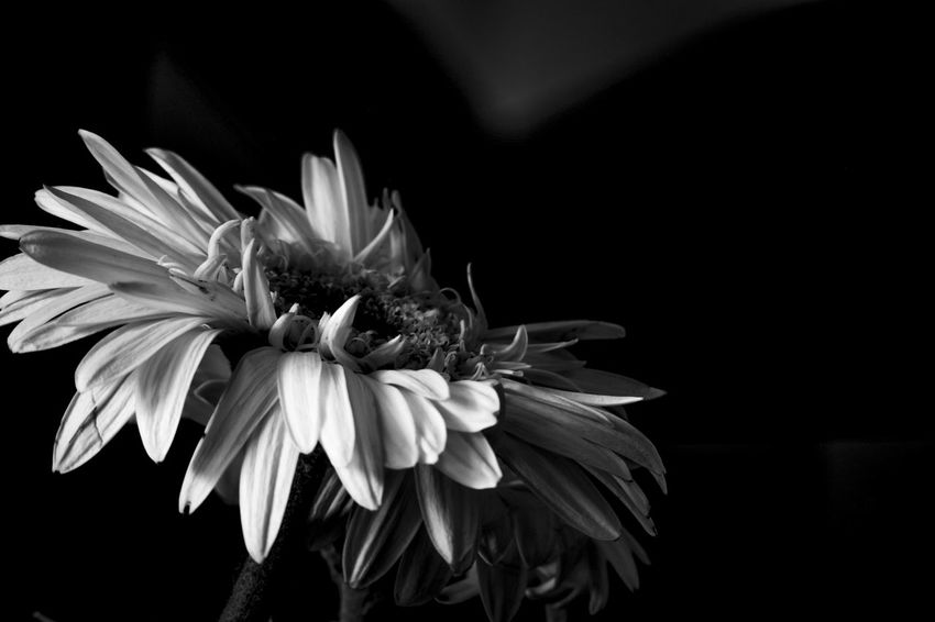 Flower Petal Flower Head Fragility Black Background Beauty In Nature Nature Plant Close-up No People Growth Freshness Outdoors Day Jacqueline Schreiber Fujifilm Fujifilm X-m1 Fujifilm_xseries Auto_revuenon 50mm Vivitar_converter Fujifilm_series Gerbera Flower Macro Photography Beauty In Nature Black & White