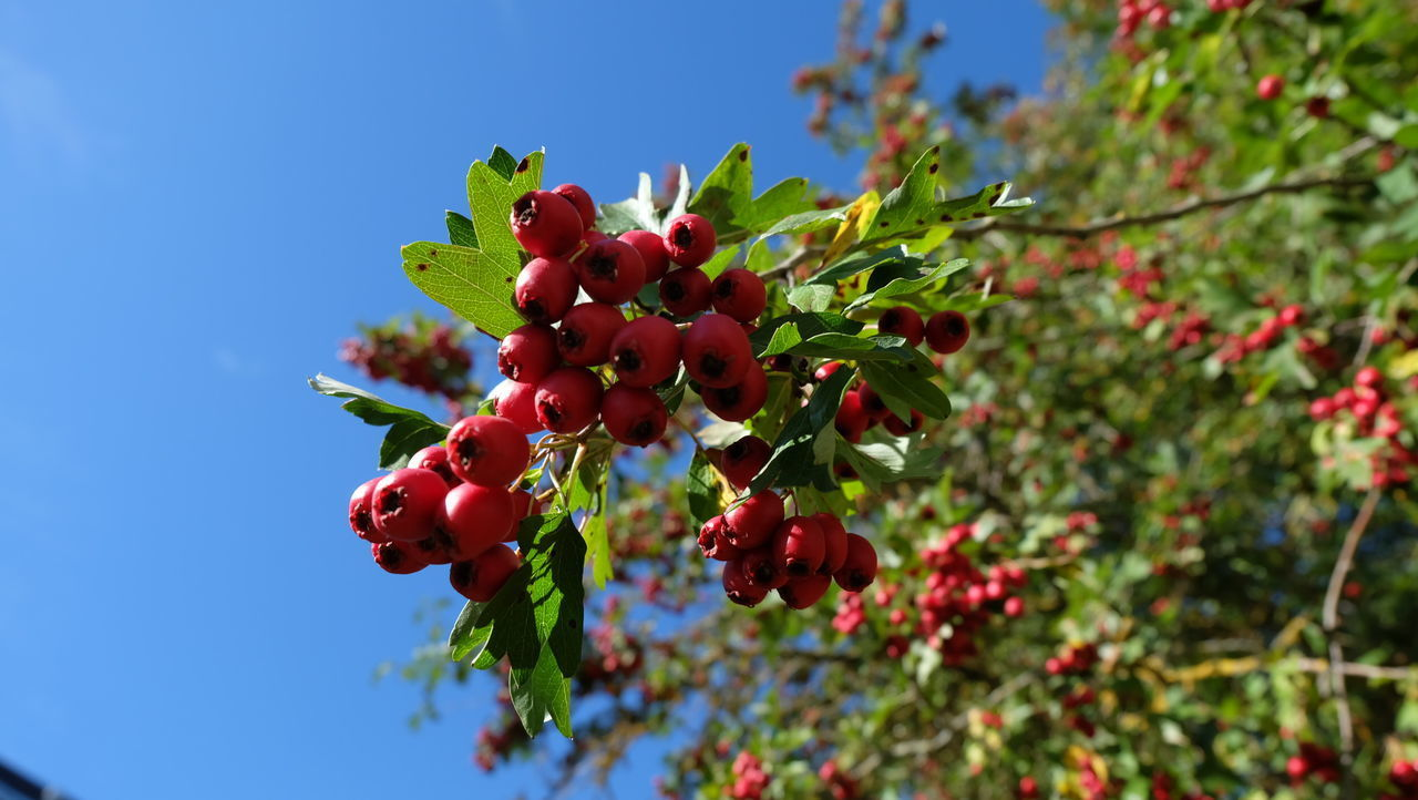 fruit, healthy eating, food, food and drink, growth, plant, freshness, berry fruit, red, beauty in nature, nature, tree, leaf, plant part, low angle view, day, close-up, no people, rowanberry, green color, outdoors, ripe