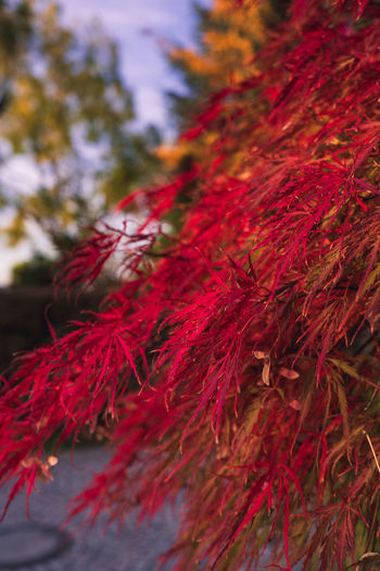 Autumn Fall Red