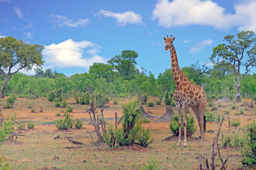 Game Drive Giraffa Camelopardalis Hwange National Park Wildlife Photography Animal Themes Animal Wildlife Animals In The Wild Beauty In Nature Cloud - Sky Day Game Reserve Giraffe Grass Landscape Mammal Nature No People One Animal Outdoors Safari Animals Safety Sky Tree