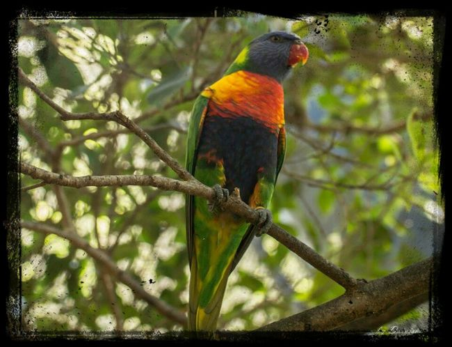 Lori arcoiris ( Trichoglossus haematodus) Streamzoofamily EyeEm Birds EyeEm Nature Lover Eyeem Fauna