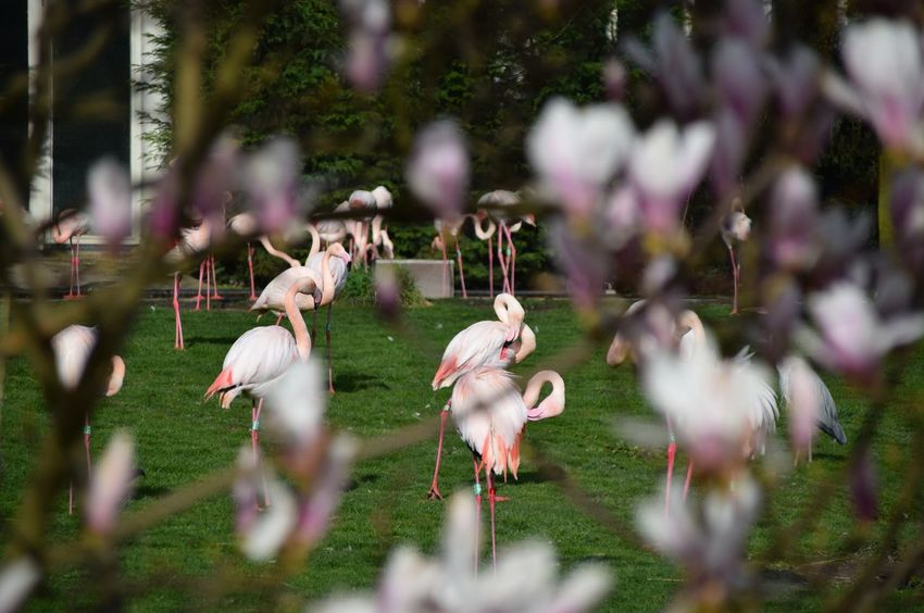 Flamingos Pink Depth Of Field Blijdorp Rotterdam