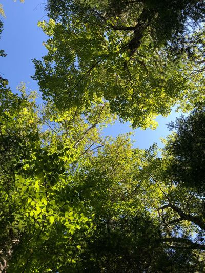 🌿 Green Color Beautiful Blue Sky Nature Photography Nature Picoftheday Plant Tree Growth Beauty In Nature Low Angle View Green Color Nature No People Tree Canopy  Park Leaf Day Sunlight Tranquility Sky Outdoors Scenics - Nature Branch Plant Part Land