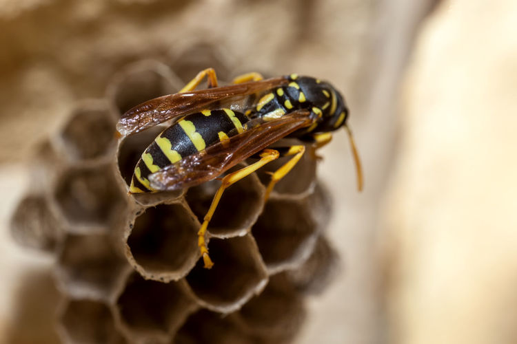 Paper Wasp building Nest Macro Photography Nesting Paper Wasp Animal Themes Animal Wildlife Animals In The Wild APIculture Bee Beehive Close-up Day Honeycomb Insect Macro Nature Nest No People Oculii One Animal Outdoors Paper Wasp Nest