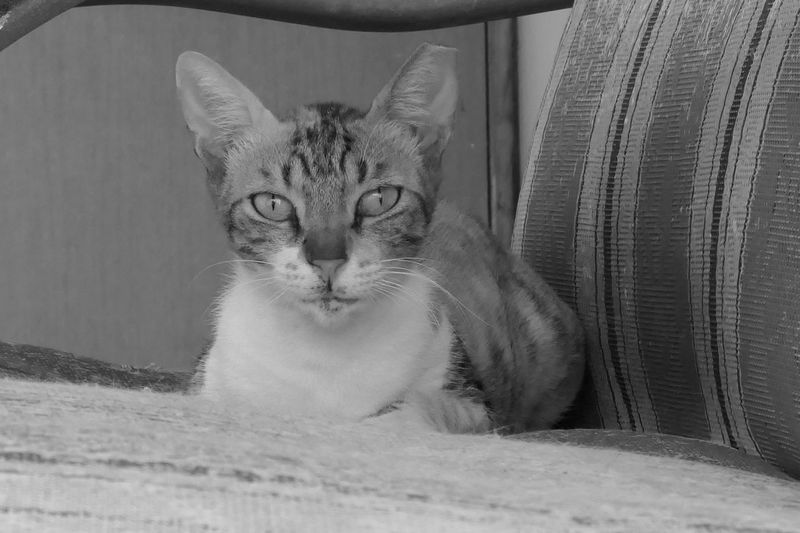 Cat Feline Pets Domestic One Animal Domestic Animals Domestic Cat Portrait No People Looking At Camera Indoors  Close-up Relaxation Looking