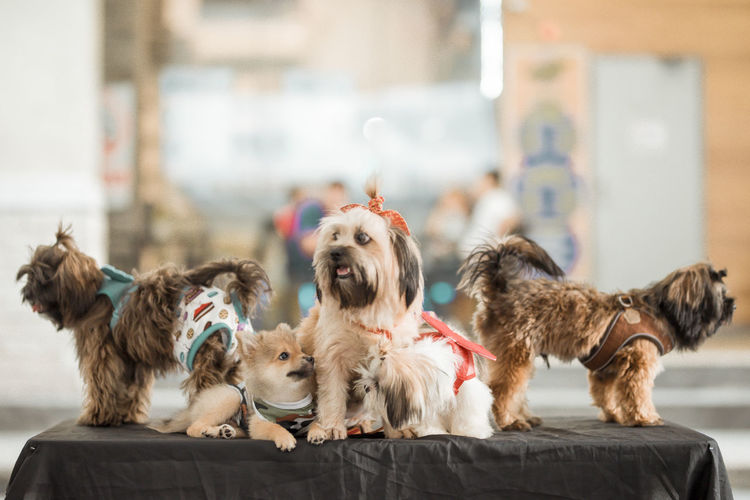 Bring your pet Day :) Animal Animal Themes Canine Dog Domestic Domestic Animals Focus On Foreground Group Of Animals Indoors  Lap Dog Mammal No People Pets Puppy Shih Tzu Small Two Animals Vertebrate Young Animal