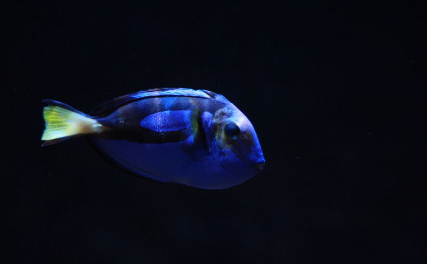 UnderSea Black Background Sea Life Swimming Aquarium Water Underwater Jellyfish Sea Blue