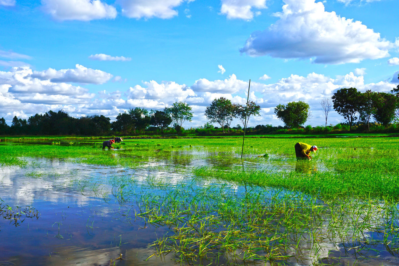 water, field, agriculture, growth, nature, beauty in nature, scenics, sky, day, real people, grass, outdoors, green color, cloud - sky, tree, tranquility, landscape, tranquil scene, domestic animals, plant, farmer, rural scene, mammal, rice paddy, one person, men, people