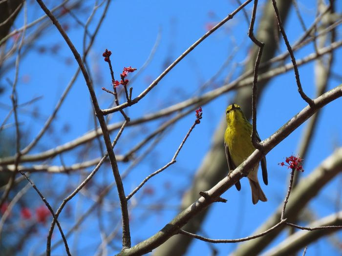 Yellow bird perched on a bare tree branch prairie warbler closeup Birds of EyeEm beauty in nature Branch Tree Perching Bird Low Angle View Focus On Foreground