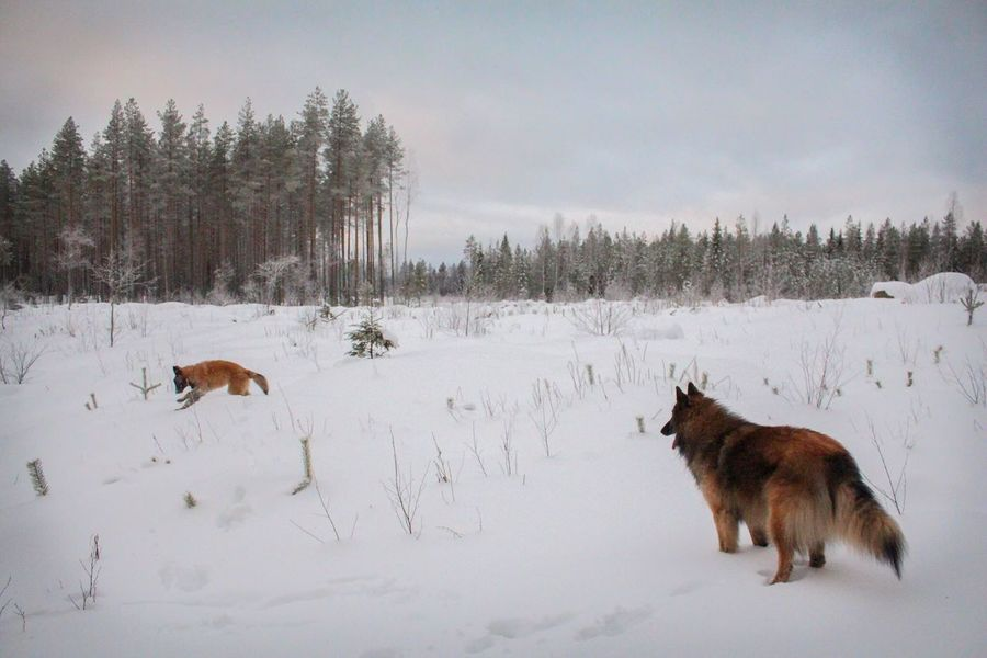 EyeEm Ready   Snow ❄ Winter Snow Cold Temperature Animal Themes Nature Weather Dog Outdoors Beauty In Nature Sky Tervueren Belgian Shepherd Lapland Finland Landscape Pets Forest Beauty In Nature Go Higher The Traveler - 2018 EyeEm Awards
